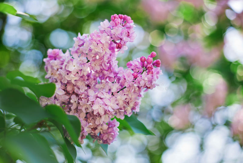 Close-up pink lilac flower in front of lush foliage royalty free stock photography