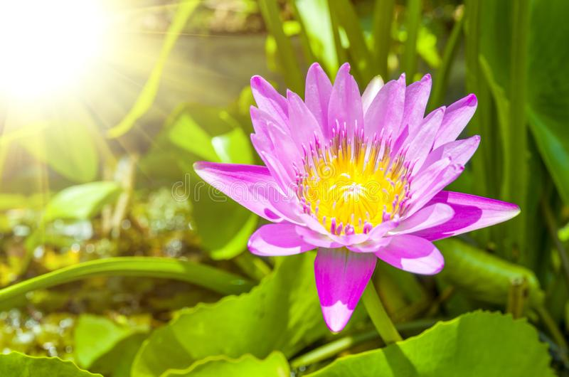 Close-up Pink lotus flower background royalty free stock photo