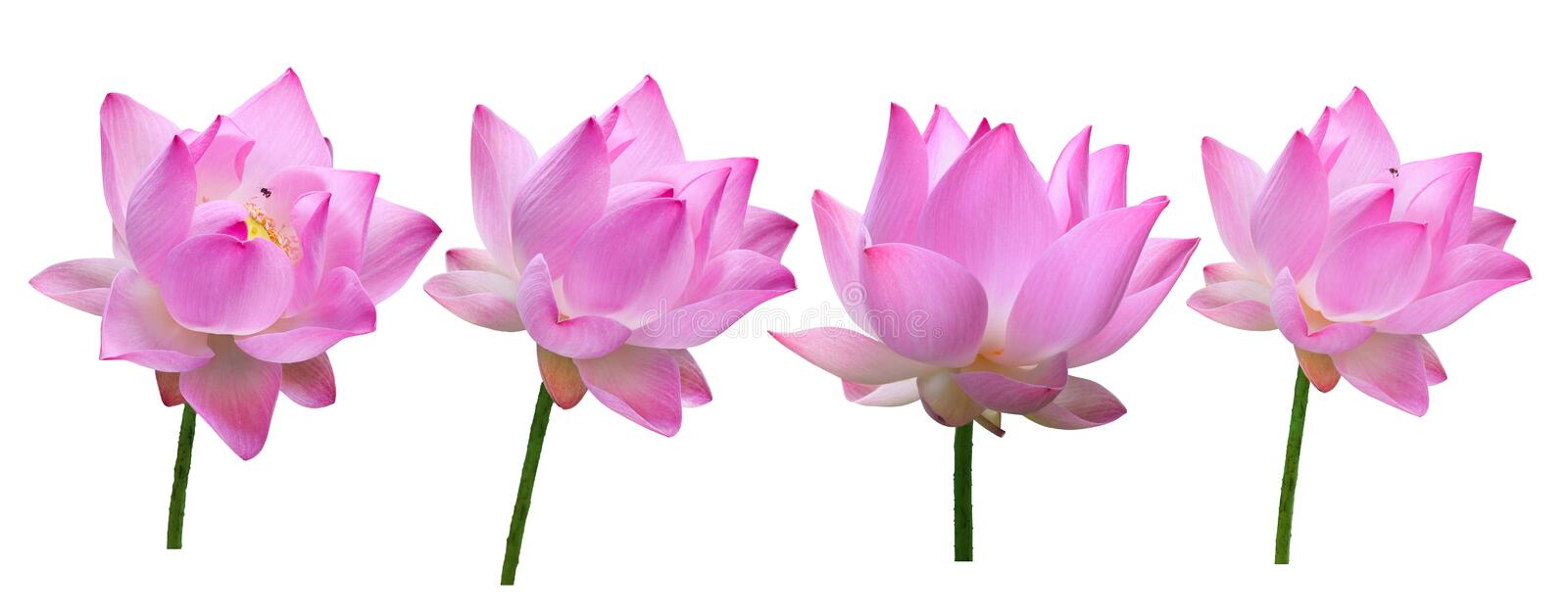 Close Up Pink Lotus Flower High Resolution Isolated On White