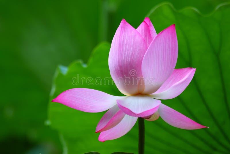 Pink Lotus Flower. The close up of pink lotus flower in shenzhen honghu park, China royalty free stock image