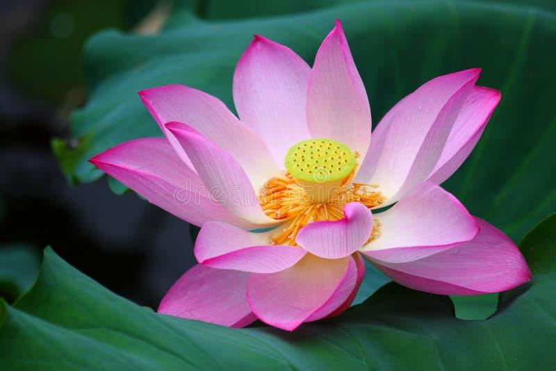 Pink Lotus Flower. The close up of pink lotus flower in shenzhen honghu park, China stock images