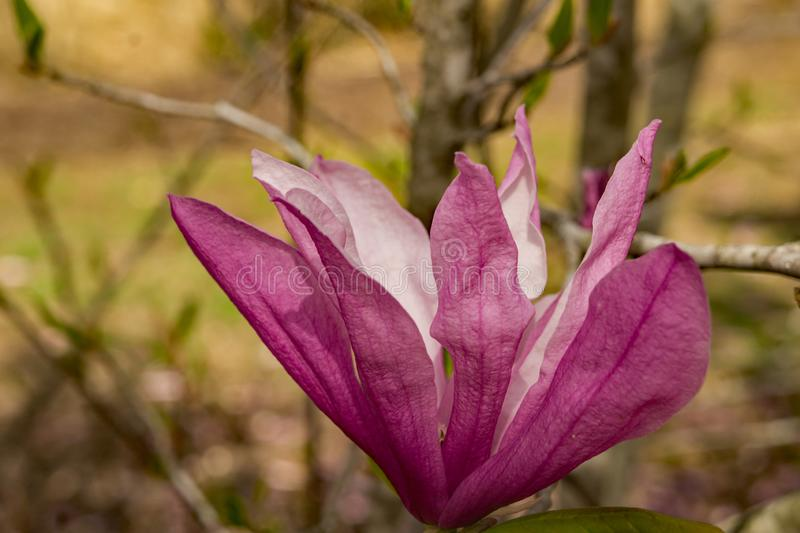 Pink Magnolia - Magnolia liliiflora. Close-up of a Pink Magnolia flower that blooms in early spring stock photography