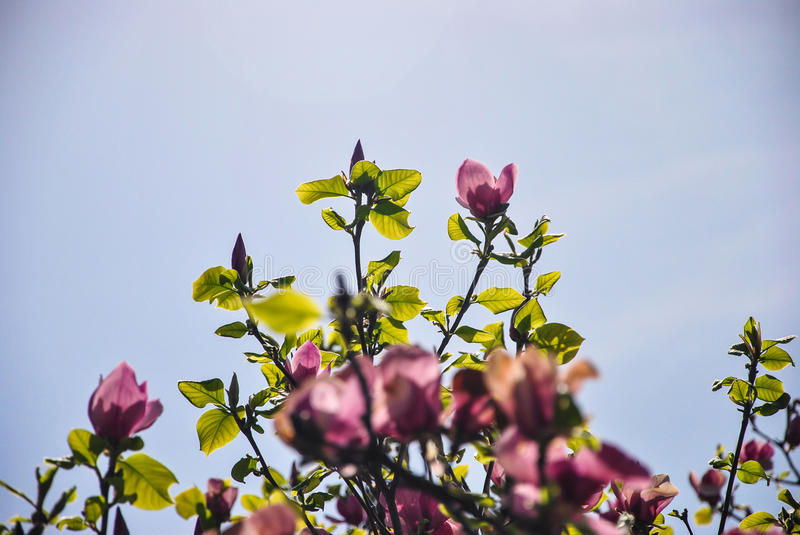 Close-up of pink magnolia flowers on a brunch and blue sky at botanical garden royalty free stock photo