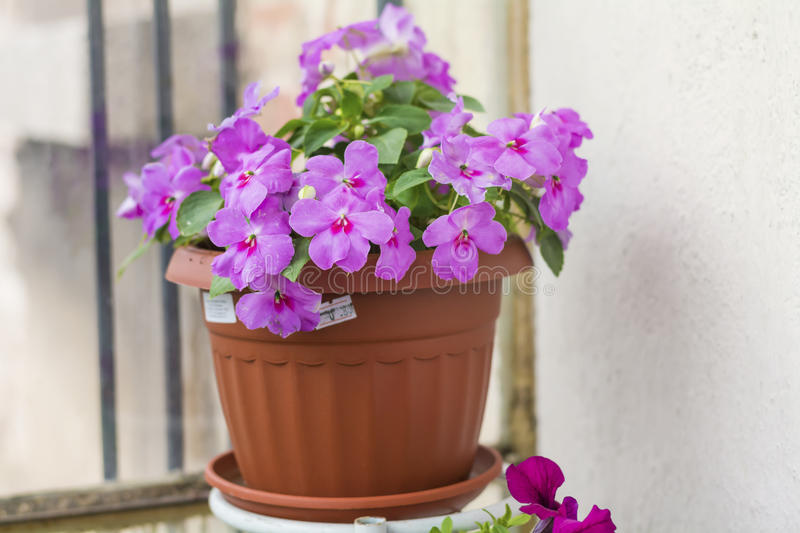 Close up of a pink New Guinea Hybrid Impatiens flowers. Guinea Hybrid Impatiens flowers in pot stock image