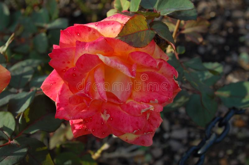 Close up of pink orange yellow flower. Close up of a flower with red, pink, orange, and yellow colored petals. Green leaves in a bush. Full bloomed royalty free stock photo