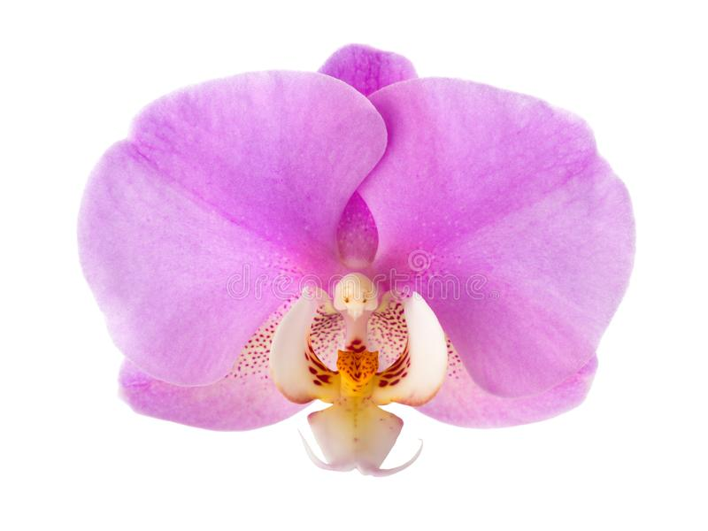 Close-up of  pink Orchid flower isolated on white background royalty free stock images