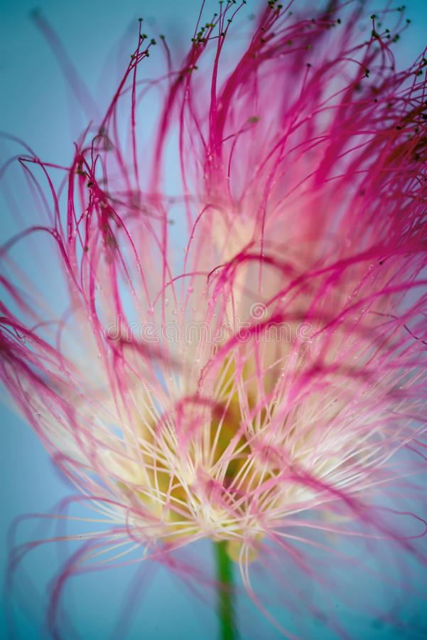 Close up of a pink persian silk tree, mimosa tree Albizia julibrissin flower royalty free stock photo