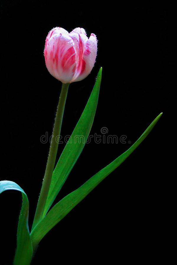 Close up Pink Petal Tulip With Dew on Flowers With Black Background.. Macro Flower. stock photography