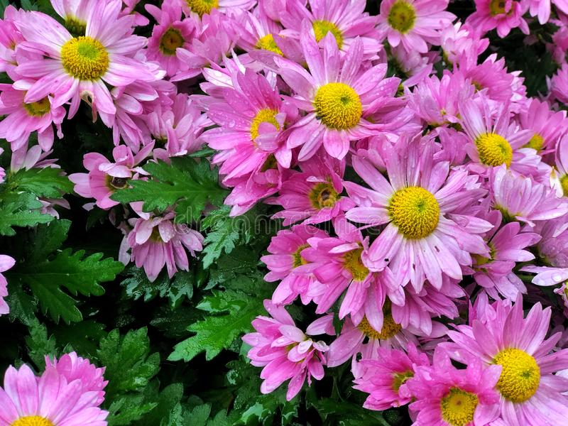 Close up Pink-Purple Chrysanthemum flowers with green leaves, in autumn season. Feeling fresh beautiful natural in botanical park. stock photography