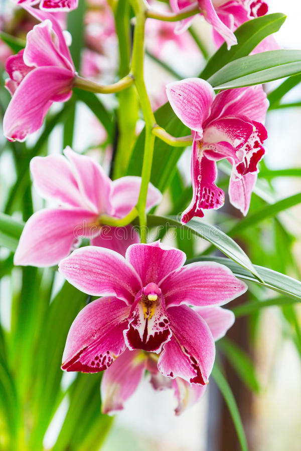 Close up pink, purple and white orchid flower branch background macro royalty free stock photography