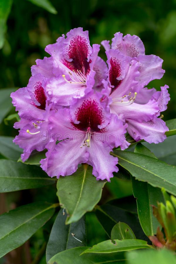 Close-up of pink rhododendron blossoms in the garden in spring. Catawba Rhododendron Cultivar Rhododendron catawbiense royalty free stock photos
