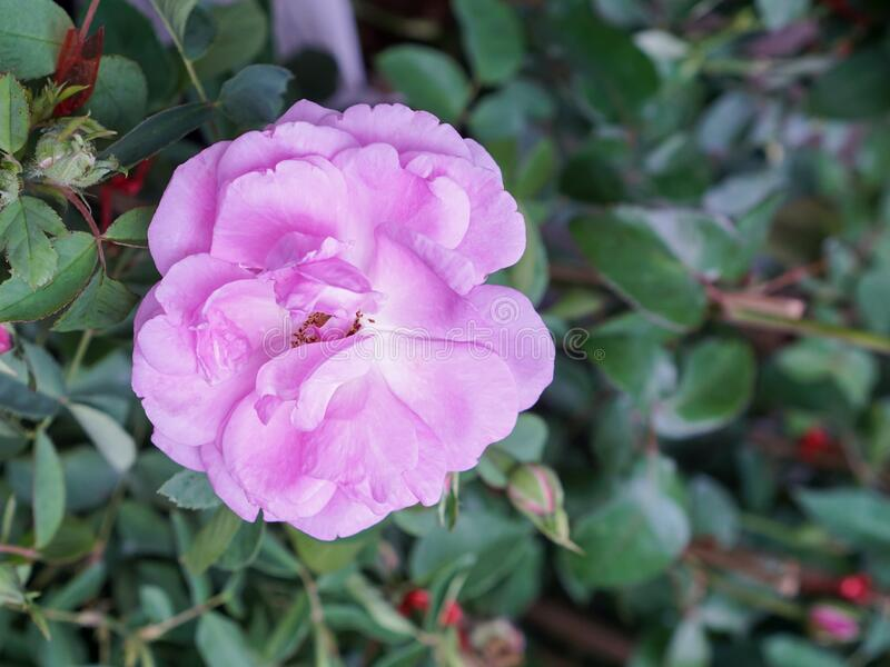 close up pink rose flower on green leaves background royalty free stock photography