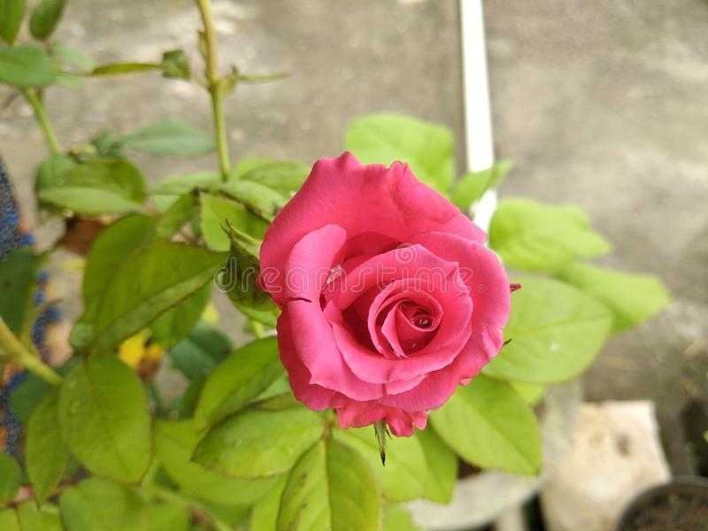 Close-up of pink Rose Flower plant in the flower pot royalty free stock photography