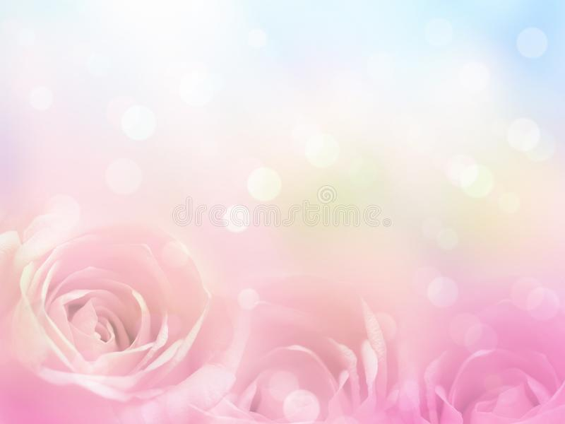 Close up pink rose  flowers with soft style for spring or summer time royalty free stock images