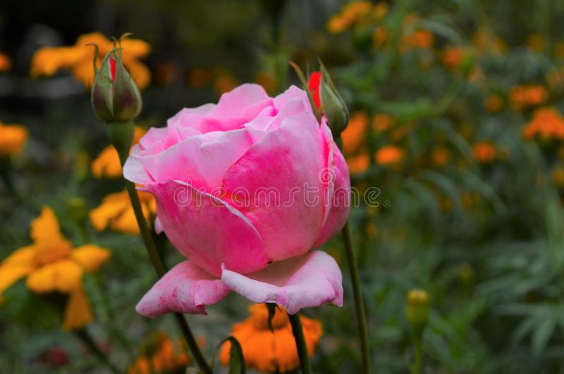 Close up of pink rose. In garden stock images