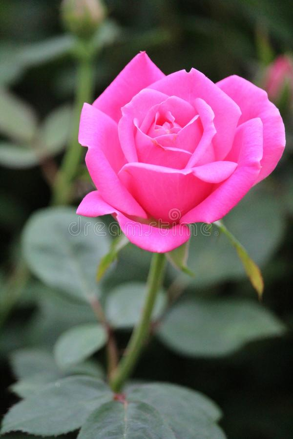 A Close up of a pink rose in partial blossom. royalty free stock image