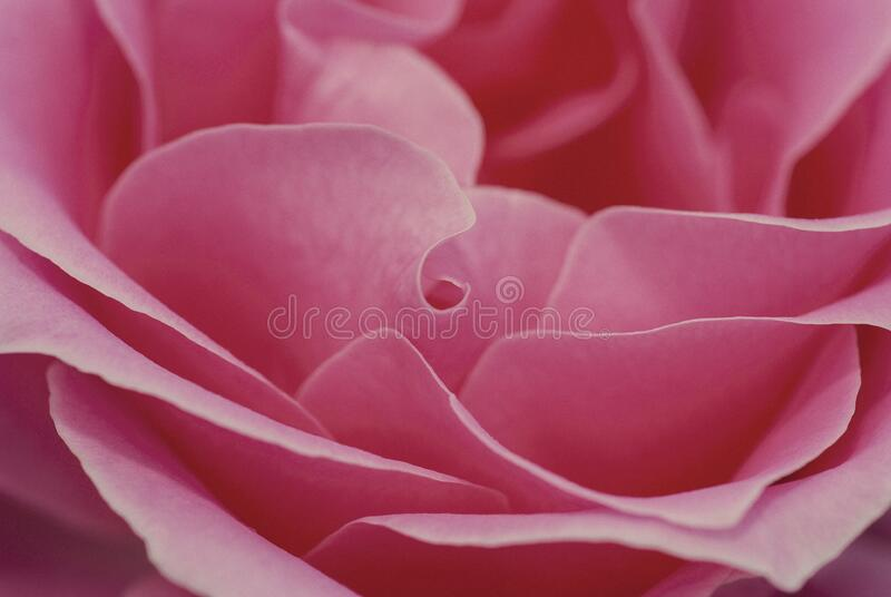 Close Up Of Pink Rose Free Public Domain Cc0 Image