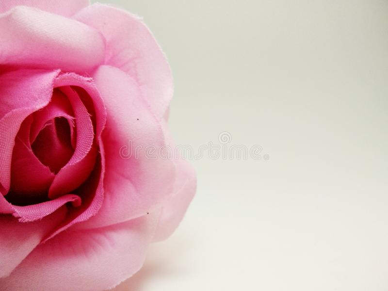 Close up pink rose. On white background in vintage style with copy space for Valentine& x27;s Day royalty free stock photos