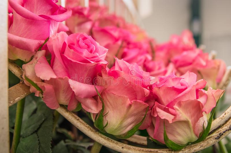 Close up of pink roses hanging from a metallic structure inside of a flower factory located in Ecuador stock images
