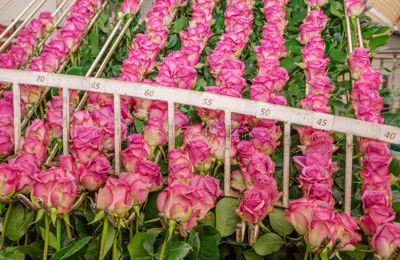 Close up of pink roses in a row hanging from a metallic structure inside of a flower factory located in Ecuador stock image