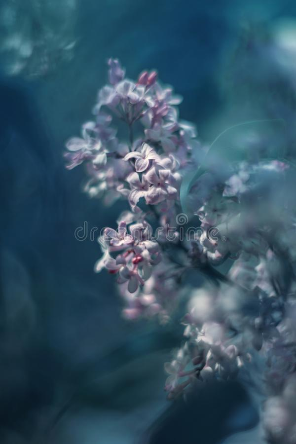 Colorful and dreamy syringa vulgaris photo. Close up pink syringa vulgaris photo royalty free stock images