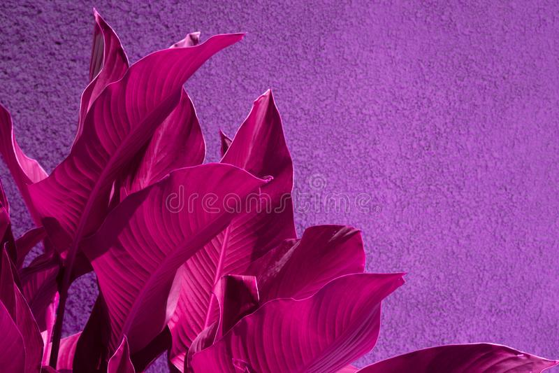 Close up pink tropical leaves over purple grunge concrete wall. stock image