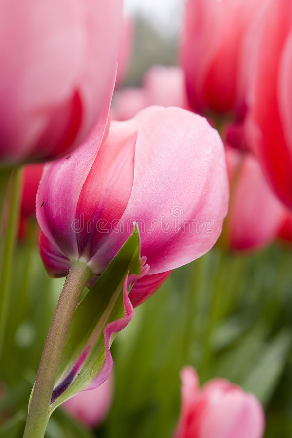 The close-up of pink tulip stock photo