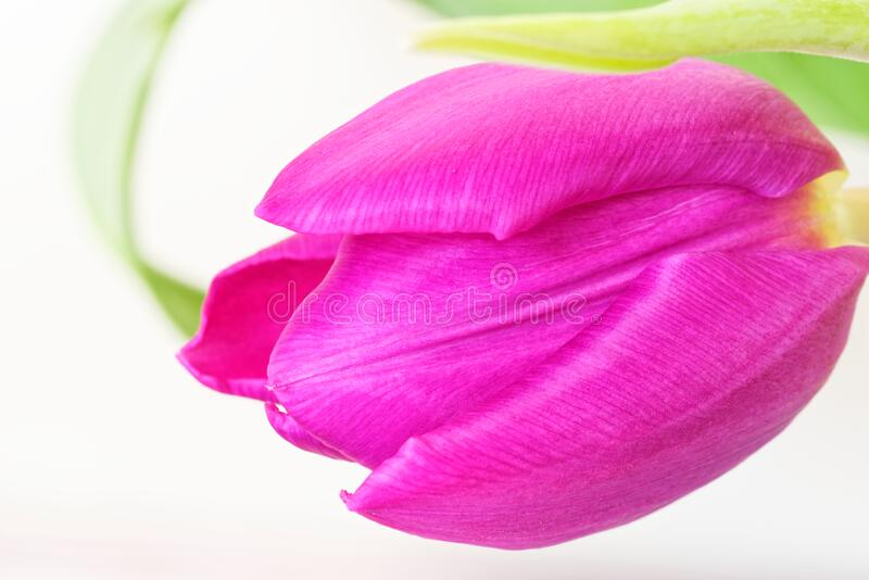 Close-up of pink tulip flower against white background. Macro of pink tulip flower against white background. Selective focus royalty free stock image