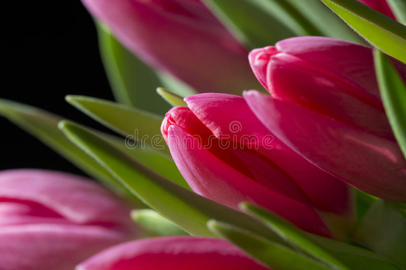 Close up of pink tulips stock image