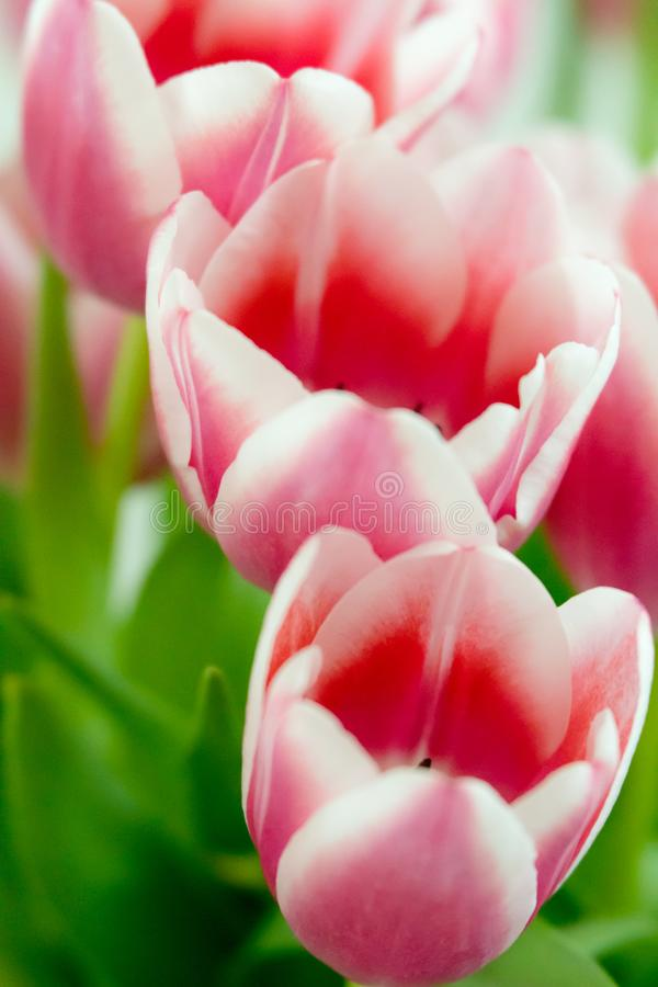 Close up of pink tulips with wonderful bokeh. As a cheerful background stock image