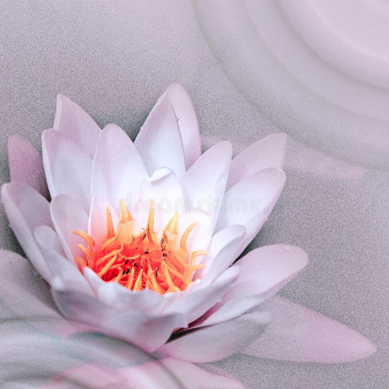 Close up on pink water lilies on the lake. A beautiful big white water lilies lotus flower in pond stock photo
