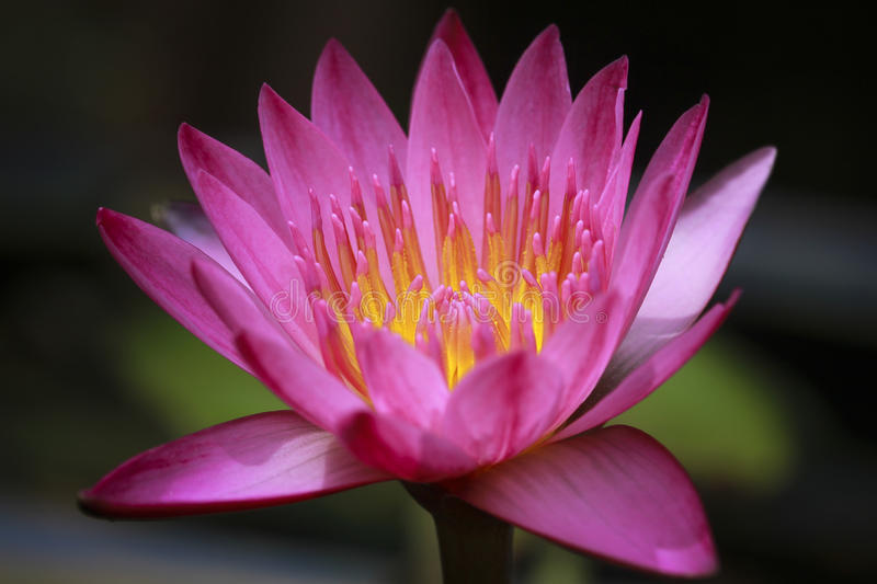 Close up of pink water lily royalty free stock images