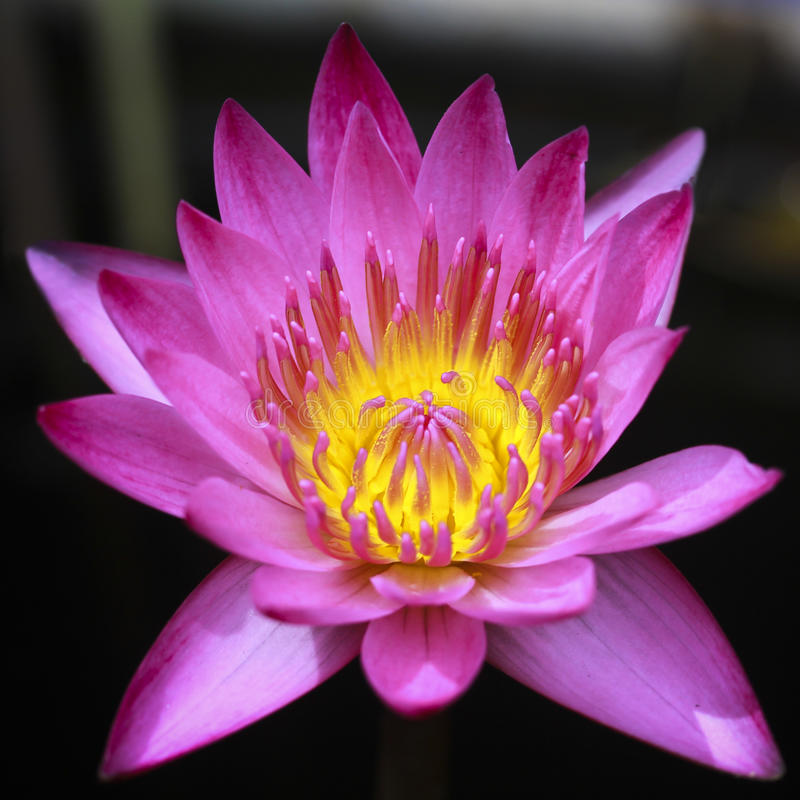 Close up of pink water lily stock photography