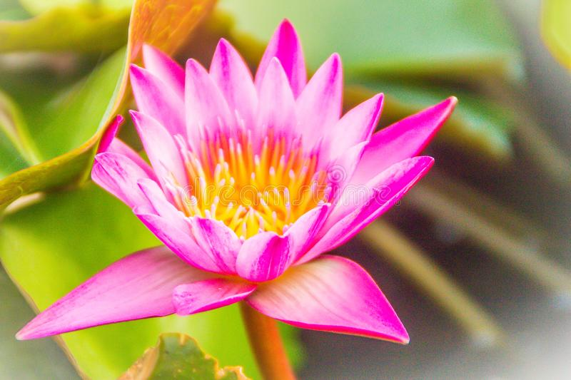 Close up of pink water lily with yellow pollen and green leaves background. Beautiful pink lotus with yellow pollen. stock image