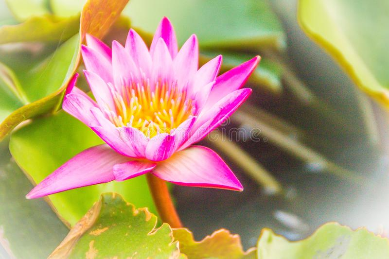 Close up of pink water lily with yellow pollen and green leaves background. Beautiful pink lotus with yellow pollen. stock photo