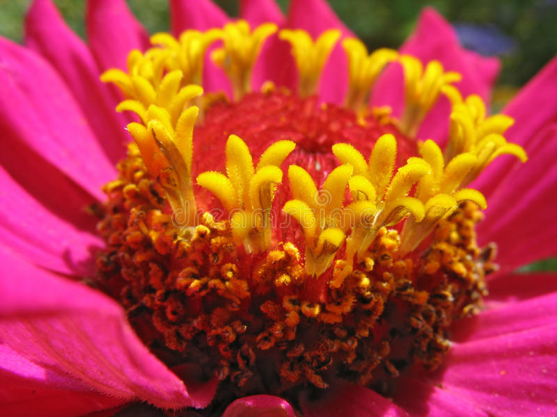 Close up of pink zinnia stamens royalty free stock photos