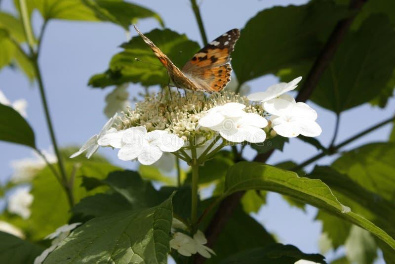 Close-up pintado da borboleta da senhora do cardui latino ou do vanessa de cynthia, em uma flor do viburnum na mola Close-up foto de stock royalty free
