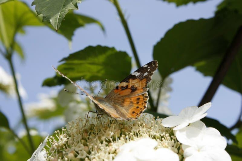 Close-up pintado da borboleta da senhora do cardui latino ou do vanessa de cynthia, em uma flor do viburnum na mola Close-up fotos de stock
