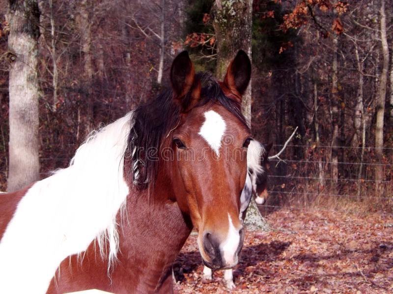 Close up of Pinto horse royalty free stock photo