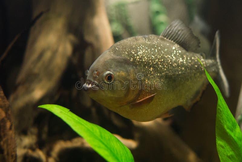 Close up on piranha fish royalty free stock images