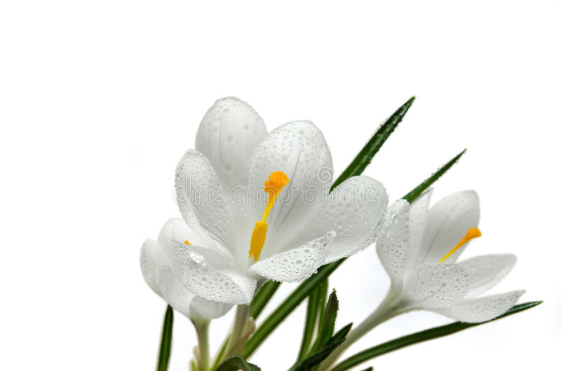Crocus flower with water drops. Close up on the pistil and stamens of white crocus flower with water drops stock photos