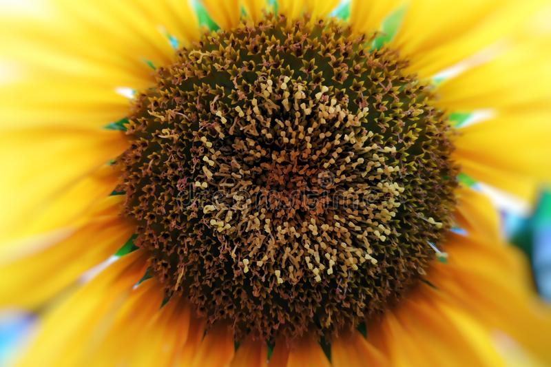 Close-up of pistils of a sunflower. Pistils close up of a sunflower, nature, springtime, summer, green, yellow, macro, petals, food, oil royalty free stock photos