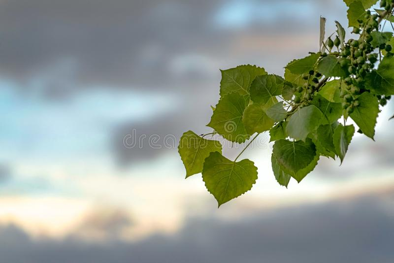Close up of a plant with heart shaped leaves and small round green fruits. Blue sky with grasy clouds can be seen in the blurred background stock photo