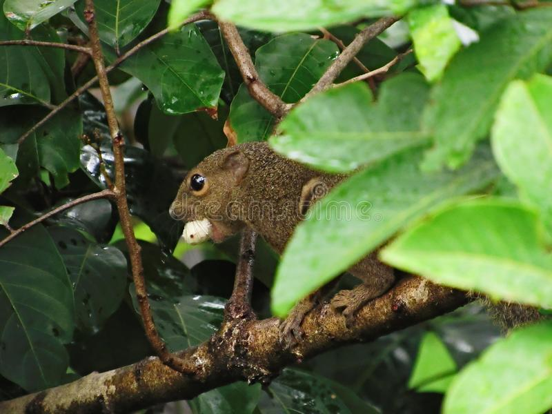 Close-up Of A Plantain Squirrel With A Rambutan In Its Mouth. Plantain Squirrel, Callosciurus notatus, with the tropical South-East Asian fruit, Rambutan stock photo