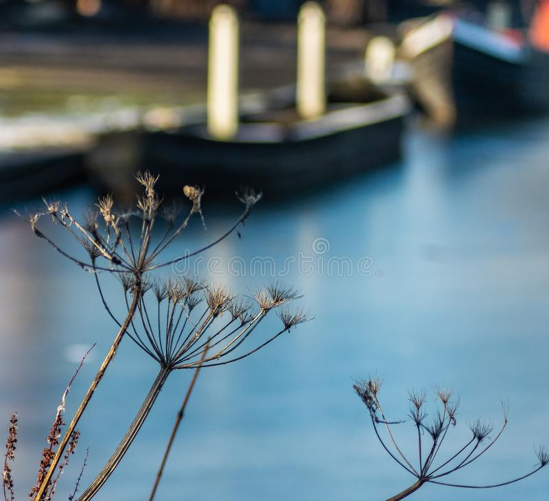 Close up of plants beside frozen canal royalty free stock photography