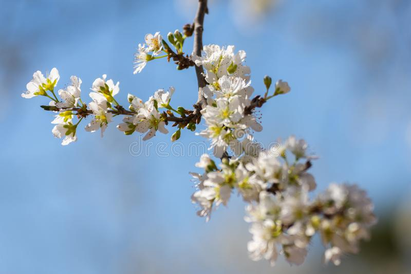 Close-up of plum branches full of white flowers on blue sky background. Typical spring background.  stock photos
