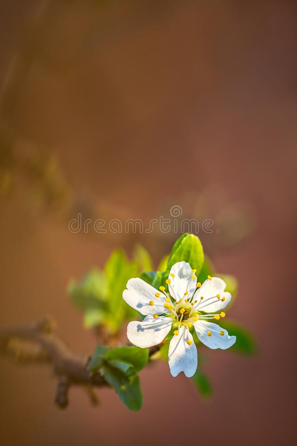 Close up of Plum flower blooming in spring. Blossom flower isolated with blurred orange background.  stock image