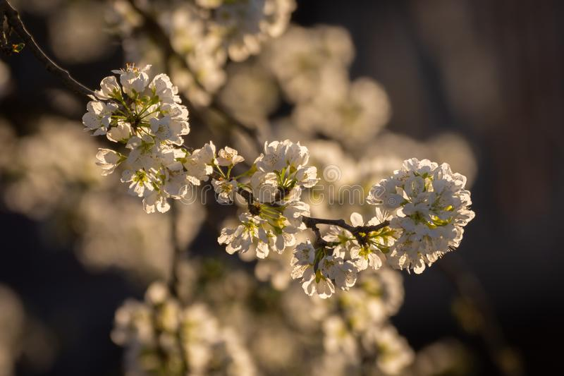 Close up plum tree branches blooming on a golden sunset in the countryside. white plum flowers royalty free stock photos