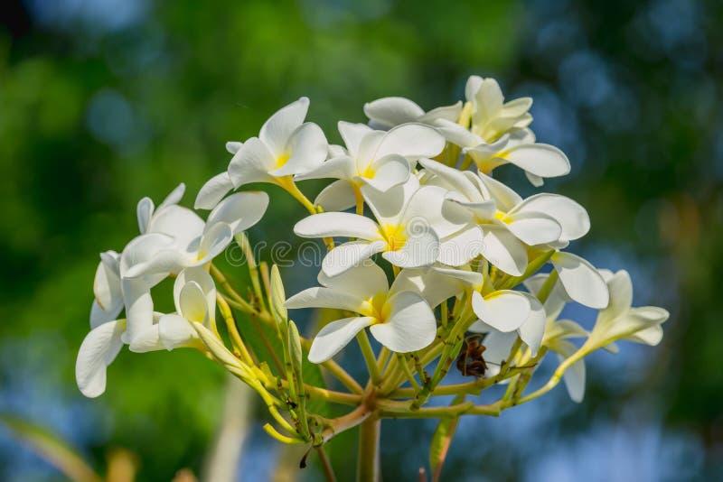 Close Up Plumeria White Flower. Adenium Tropical Flower. Stock Photo ...