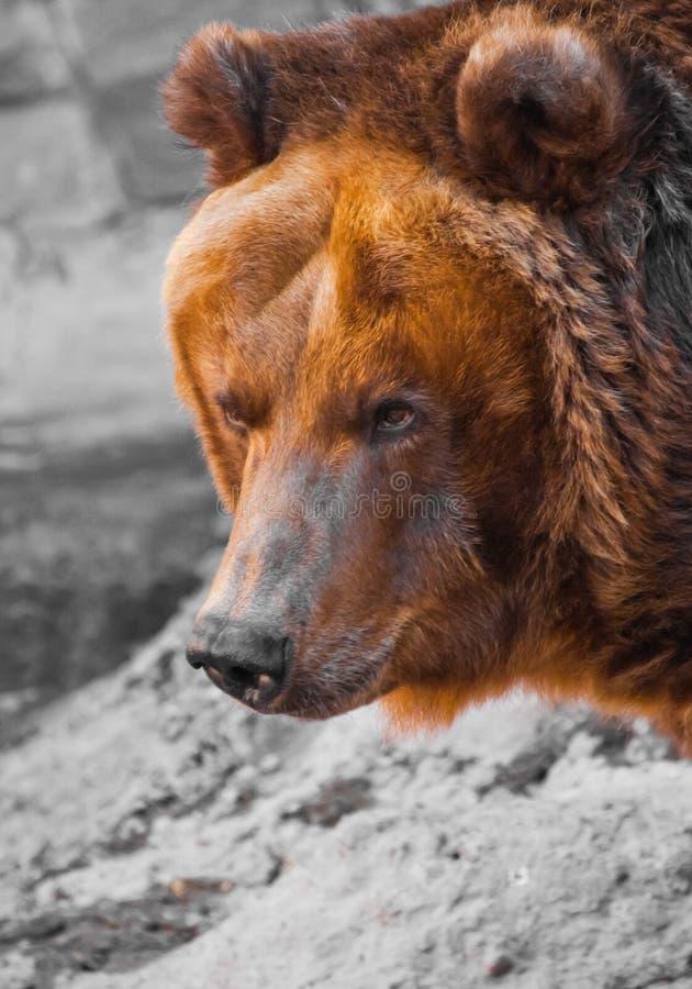 Close-up poderoso enorme do urso marrom, animal forte em um fundo de pedra foto de stock